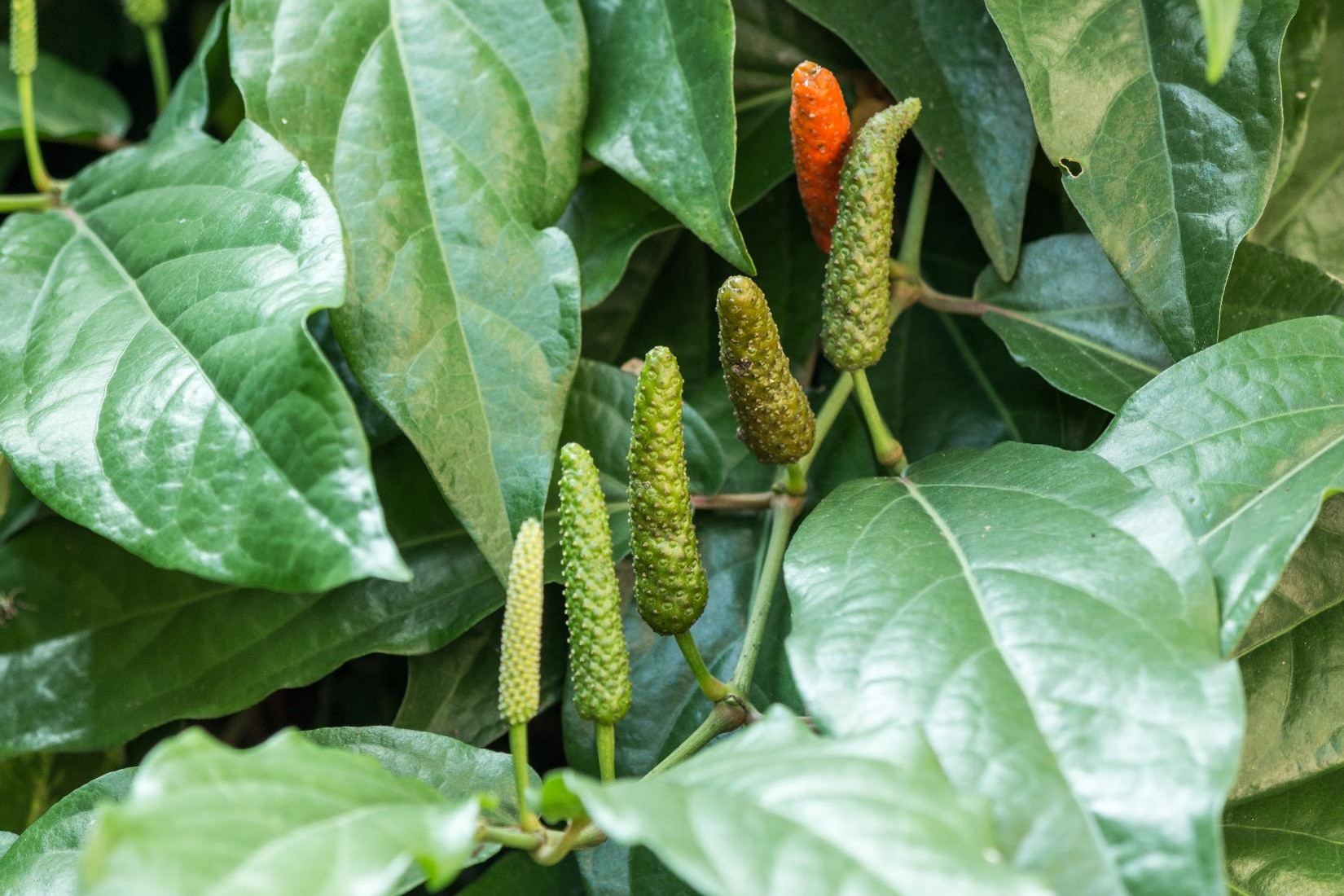 FIND OUT MORE ABOUT LONG PEPPER