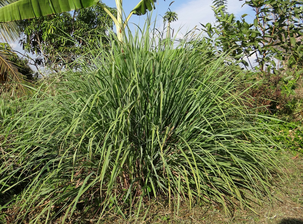 FIND OUT MORE ABOUT LEMONGRASS