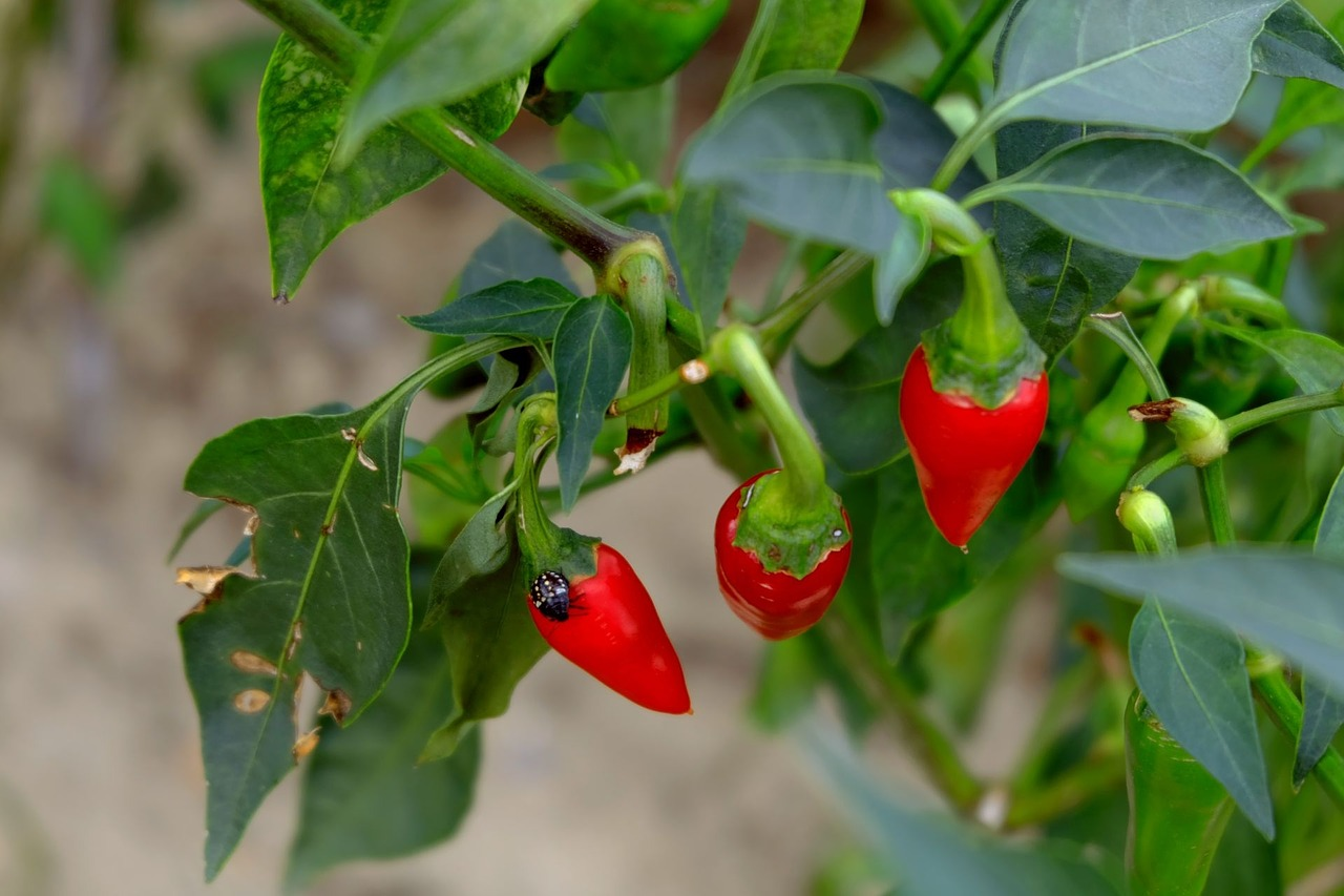 FIND OUT MORE ABOUT MILD CHILLI PEPPER